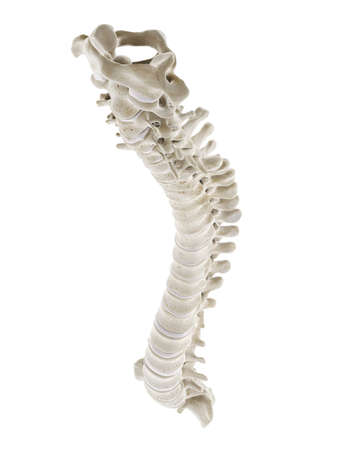 3d rendered medically accurate illustration of a healthy human spine Standard-Bild - 133029332