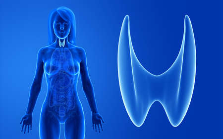 3d rendered medically accurate illustration of the female thyroid Zdjęcie Seryjne
