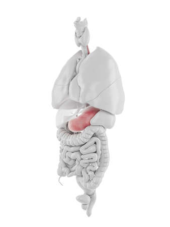 3d rendered medically accurate illustration of the stomach and esophagus