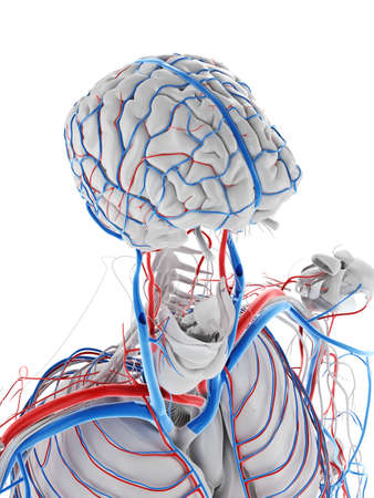 3d rendered medically accurate illustration of the vascular system of the brain Stockfoto