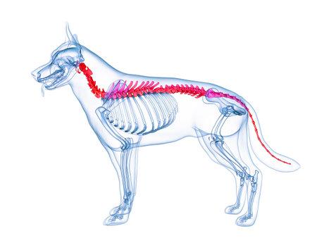 3D gerenderte medizinisch genaue Abbildung einer Hundewirbelsäule