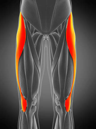 3d rendered medically accurate muscle anatomy illustration - tensor fascia lata