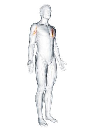 3d rendered muscle illustration of the corachobrachialis 版權商用圖片