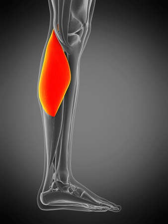 3d rendered medically accurate muscle anatomy illustration - gastrocnemius 版權商用圖片