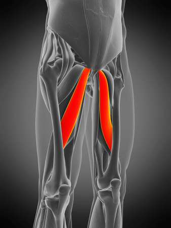 3d rendered medically accurate muscle anatomy illustration - adductor longus