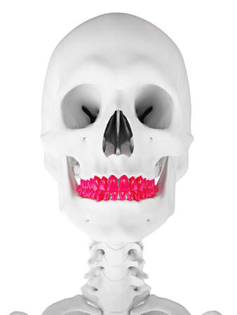 3d rendered medically accurate illustration of the teeth