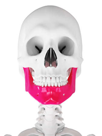 3d rendered medically accurate illustration of the jaw 版權商用圖片