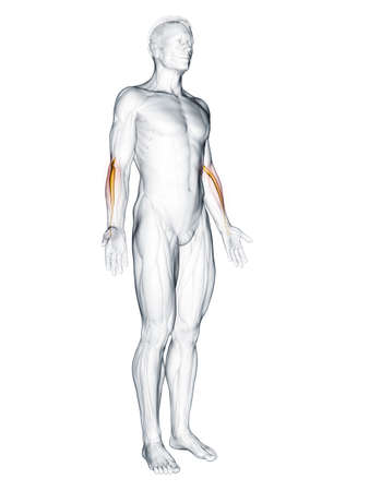 3d rendered muscle illustration of the extensor carpi radialis longus 版權商用圖片