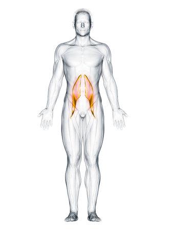 3d rendered muscle illustration of the psoas major 版權商用圖片