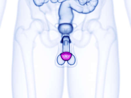 3d rendered medically accurate illustration of the glans penis