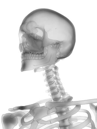 3d rendered medically accurate illustration of the human skeleton - the skull Stockfoto