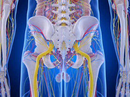 3d rendered medically accurate illustration of the pelvis anatomy