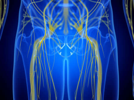 3d rendered medically accurate illustration of the hip nerves Zdjęcie Seryjne
