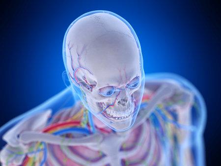 3d rendered medically accurate illustration of the head anatomy Zdjęcie Seryjne