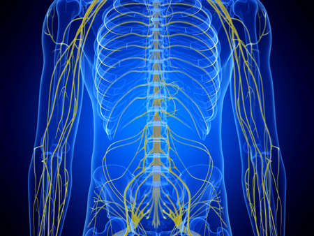 3d rendered medically accurate illustration of the thorax nerves