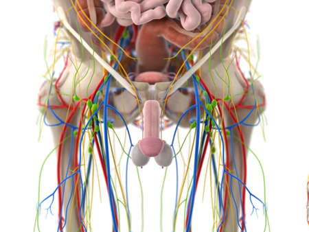 3d rendered medically accurate illustration of the pelvic organs
