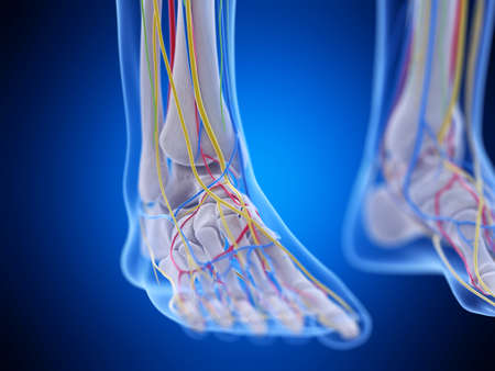 3d rendered medically accurate illustration of the foot anatomy