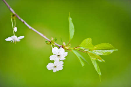 Flowering branch of cherry photo