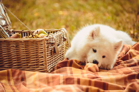 Samoyed puppy eating peach on the brown plain near picnic basket