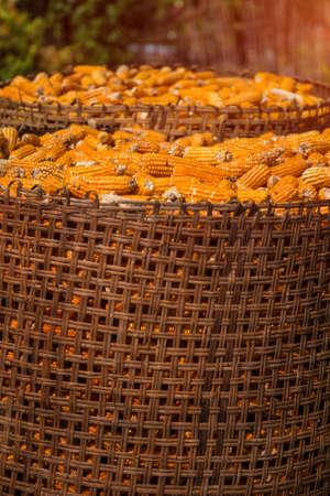 maïs moissonné en osier