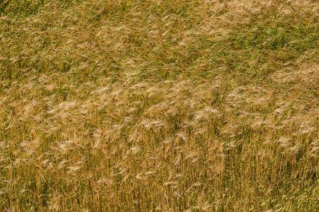 Champ de blé backround Banque d'images