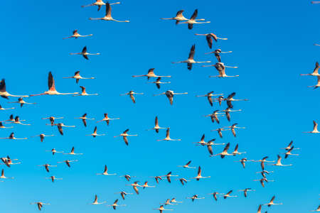 Flying flock of nice Greater flamingo Phoenicopterus roseus with clear blue sky. Dubai. United Arab Emirates.