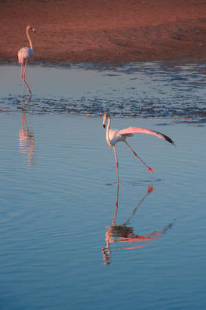 A flamboyance of greater flamingos wading in the water in golden light at sunset, Dubai. 스톡 콘텐츠 - 125461993