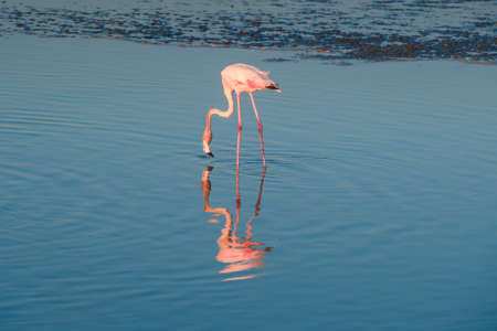 A flamboyance of greater flamingos wading in the water in golden light at sunset, Dubai. 스톡 콘텐츠