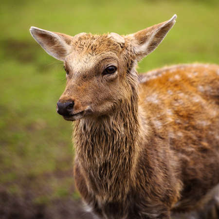 Wild white-tailed deer in a field. Closeup portrait.