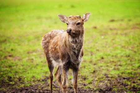 Wild white-tailed deer in a field. 스톡 콘텐츠 - 158694183
