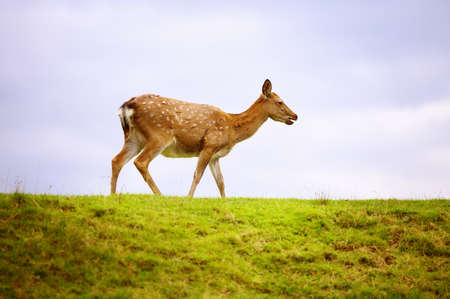 Wild white-tailed deer in a field. 스톡 콘텐츠