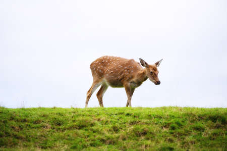 Wild white-tailed deer in a field. 스톡 콘텐츠 - 157564571