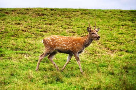 Wild white-tailed deer in a field. 스톡 콘텐츠 - 157564626