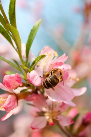 Bee on almonds flower, a close up
