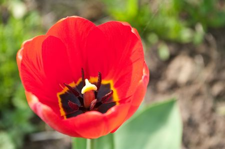 The semi-revealed red tulip on a stalk against garden greens