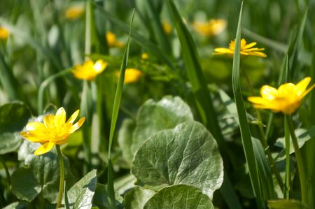 Yellow flowers among a grass on a meadow at the river Stock Photo