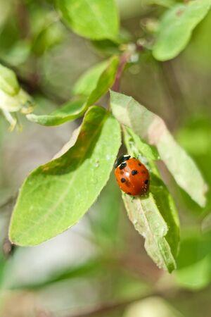 The ladybird creeps on sheet of a honeysuckle Far East Stock Photo