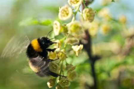 The bumblebee flies up to colours of a currant, a close up Stock Photo