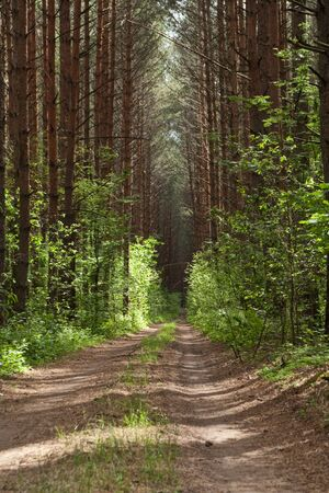 The dirt road leaves in light pine wood Stock Photo