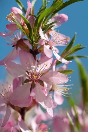 Branch of blossoming almonds against the clear sky