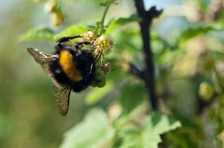The bumblebee pollinates currant flowers, a close up