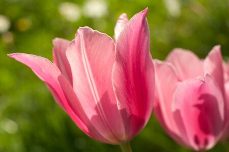 Two semirevealed pink tulips against garden greens