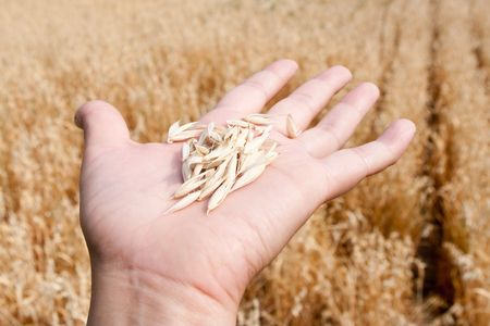 The oats lays on the opened palm on a background of a field Stock Photo