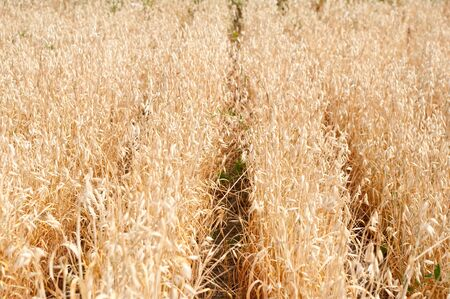 The ears of a mature oats ready to harvesting Stock Photo - 7938335