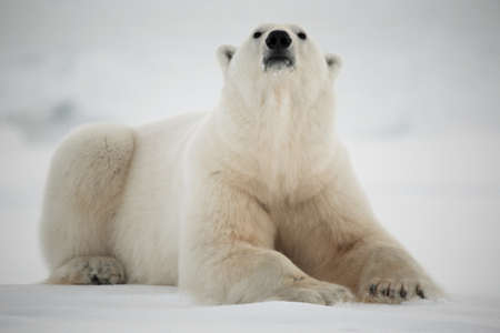 oso blanco: Oso polar, King of The Arctic  Foto de archivo