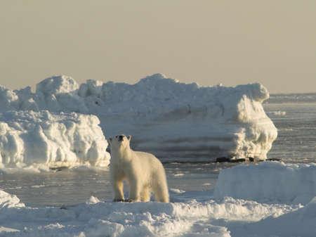 spitsbergen: Polar bear, King of The Arctic Stock Photo