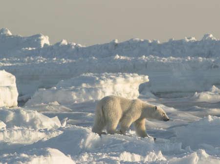 polar bear on the ice: Polar bear, King of The Arctic Stock Photo