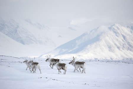 laponie: Troupeau de rennes dans l'Arctique - Spitzberg, le Svalbard