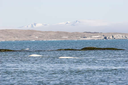 Summer Arctic landscape - wild beluga whales in the sea photo