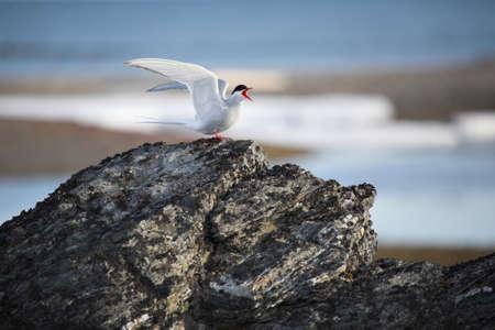 spitsbergen: Arctic tern - Spitsbergen, Svalbard